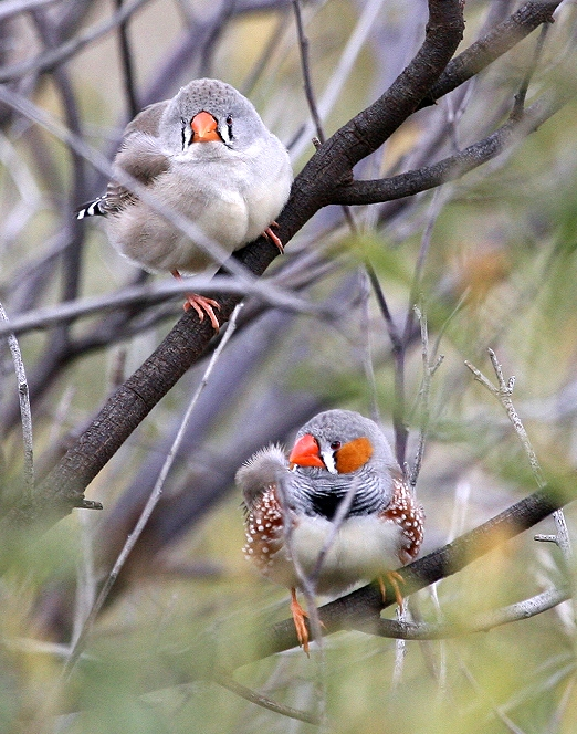 Two Zebra Finches (Taeniopygia guttata) try and hide from me amongst the