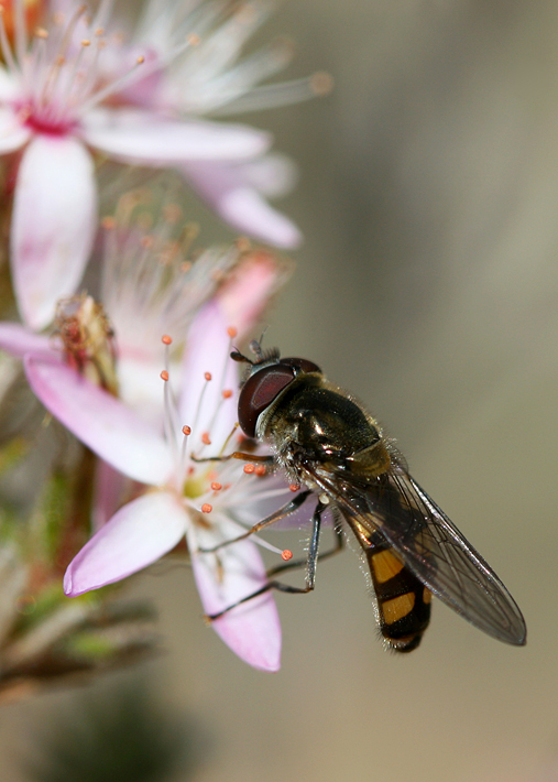 Hover Fly